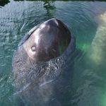 【地震の前兆?】幻のサメ! メガマウスまた見つかる5月2回目 異例の頻度